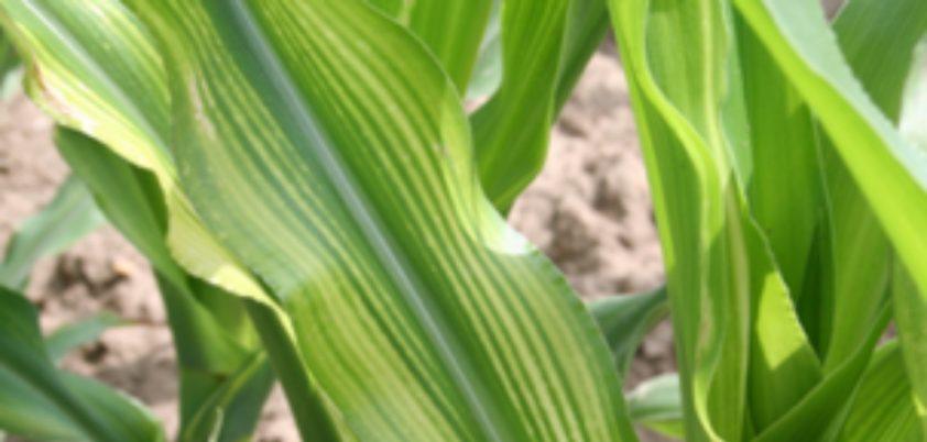 deficiencia de zinco na plantacao de milho