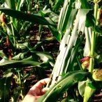 Como Eliminar a Lagarta do Cartucho e o Pulgão da Plantação de Milho