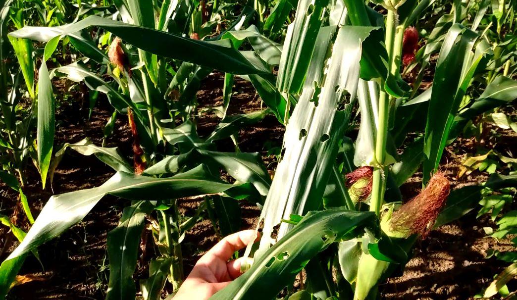 Lagarta do cartucho - plantação de milho
