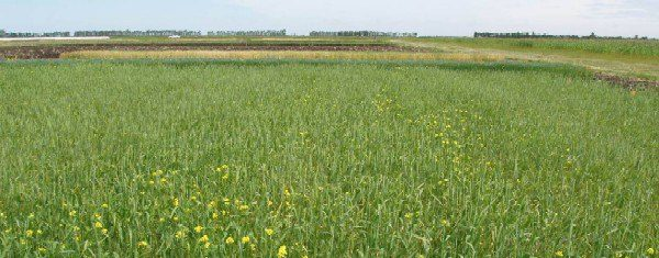 adubação verde e rotação de culturas