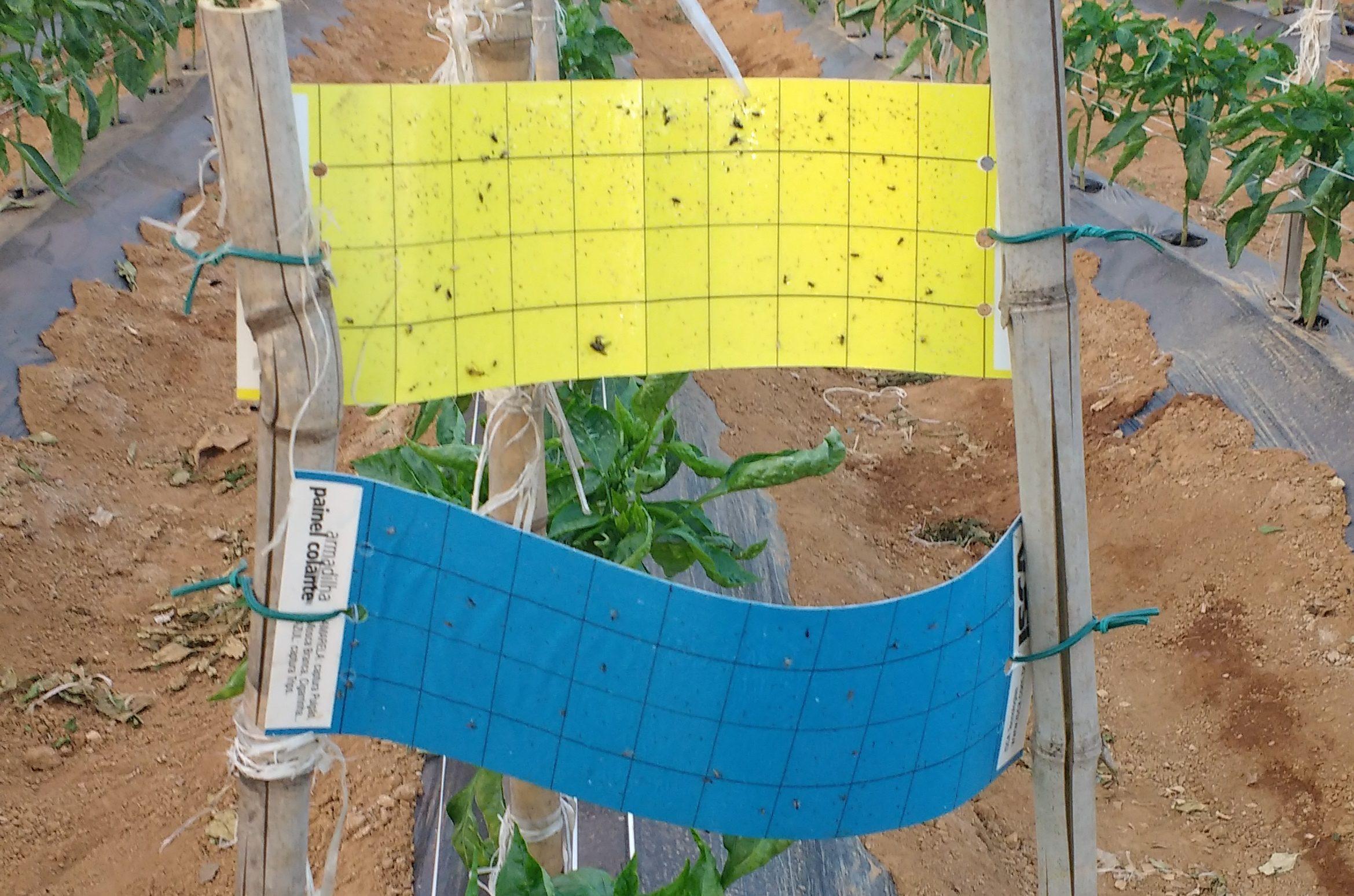 aramadilha cola: controle biologico de pragas no cultivo protegido