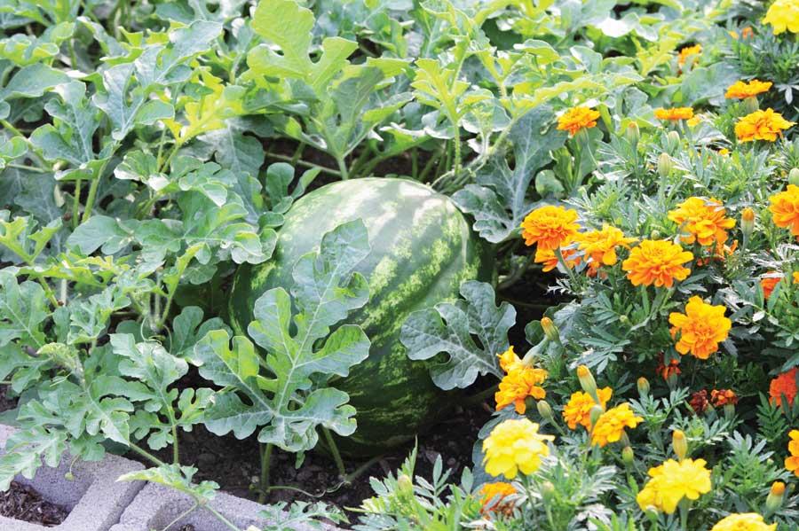 alelopatia plantas aleopaticas agricultura organica