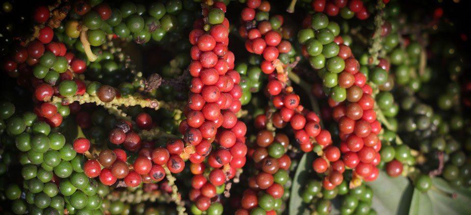 inseticida natural caseiro calda de pimenta e alho-passo-2