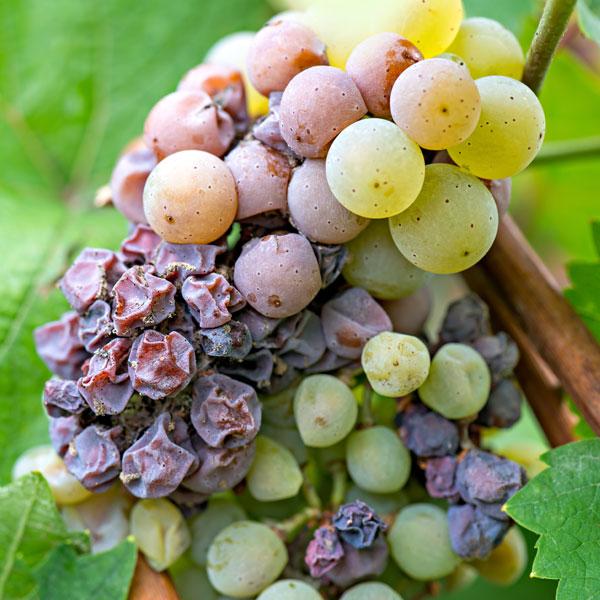 doenças nas plantas uva