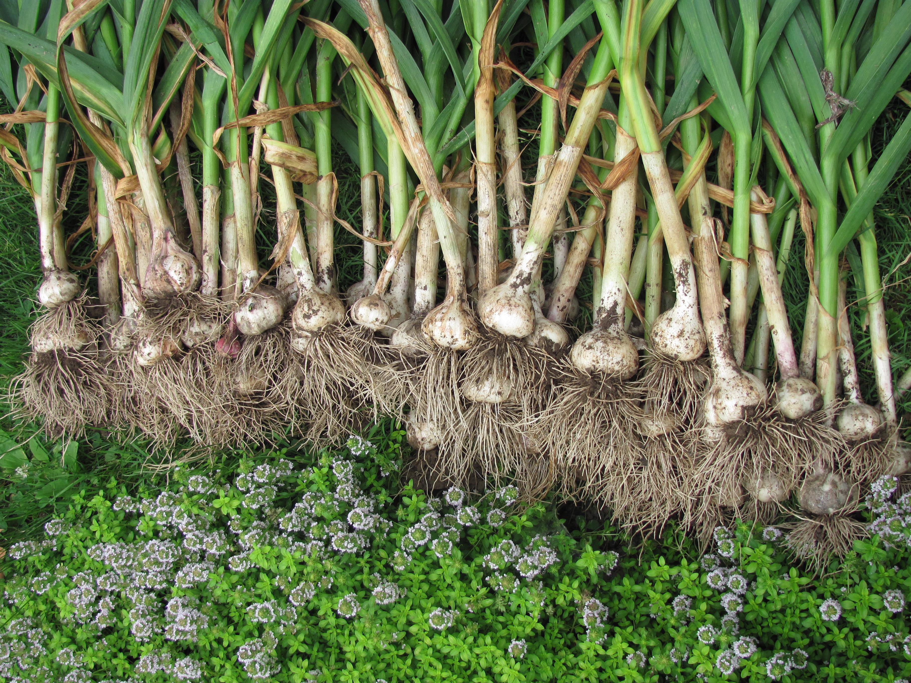 como plantar alho organico: cultivo organico