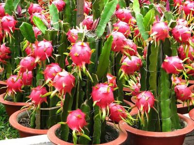 como plantar pitaia orgânica em vasos