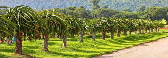 como plantar pitaia orgânica: cultivo orgânico