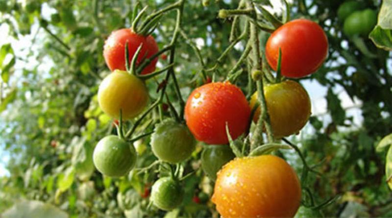 como plantar tomate organico: como plantar tomate cereja orgânico