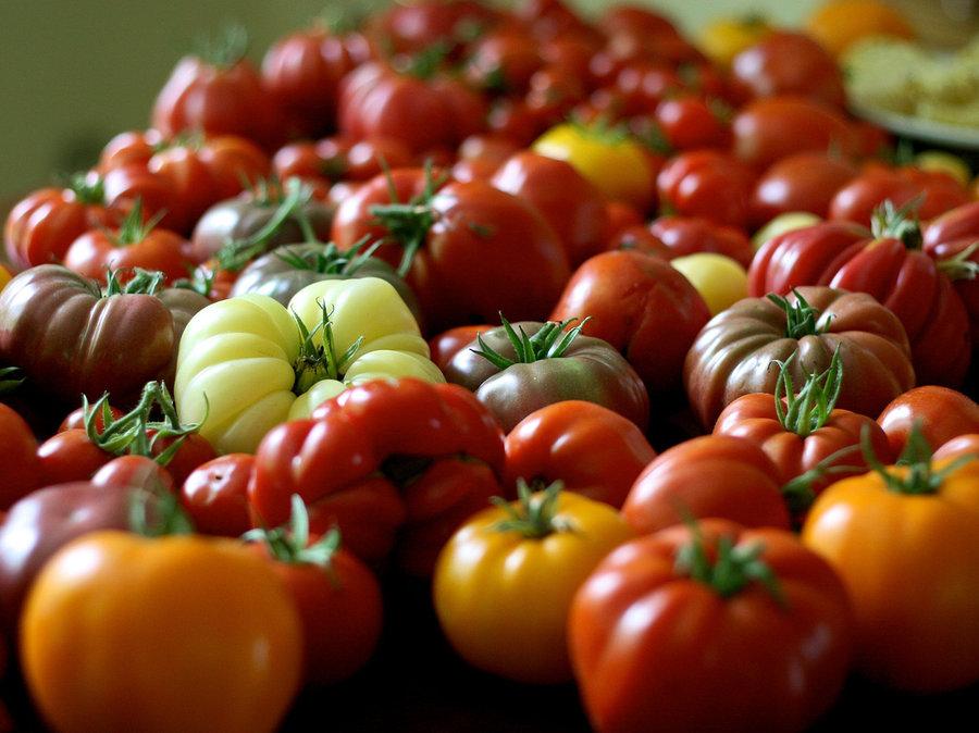 como plantar tomate organico plantação de tomate orgânico