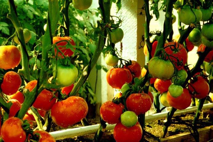 como plantar tomate organico: semente de tomate orgânico