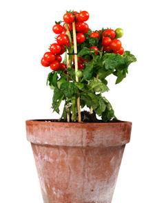 como plantar tomate organico: tomate em vaso
