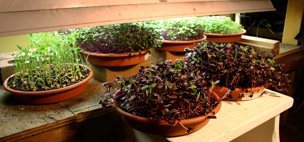 microgreens : imgrower