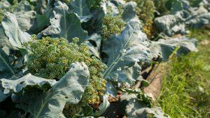 como plantar brócolis orgânico : como cultivar hortaliças