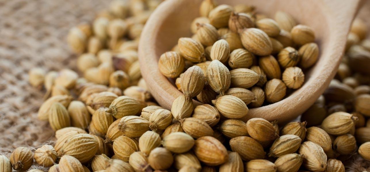 como plantar coentro orgânico : semente de coentro orgânico
