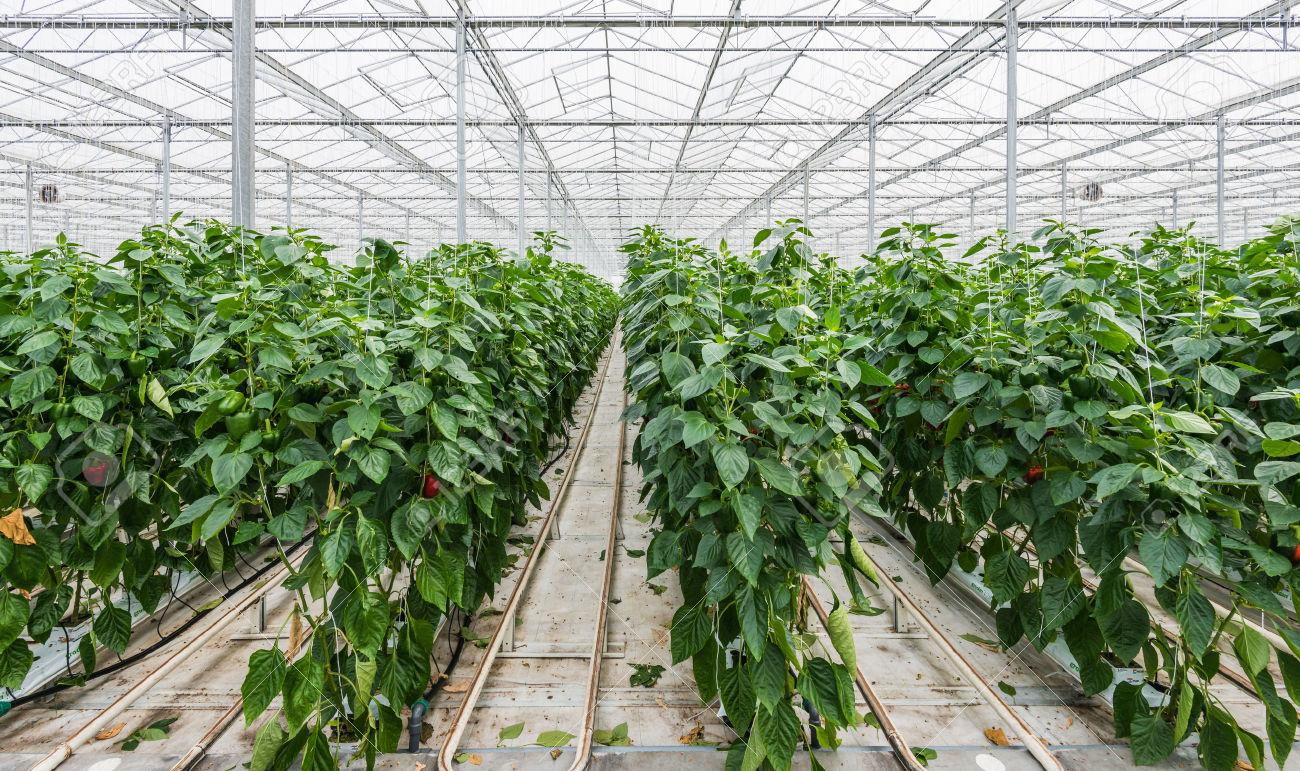 como plantar pimentão organico : estufa de pimentão orgânico