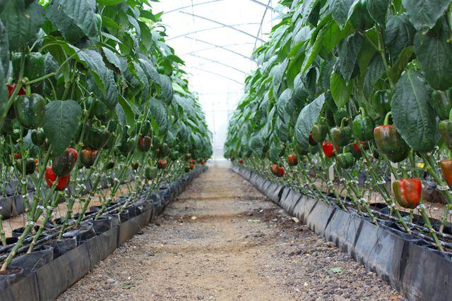 como plantar pimentão orgânico : muda de pimentão orgânico
