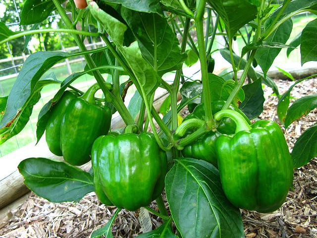 como plantar pimentão orgânico : pé de pimentão orgânico