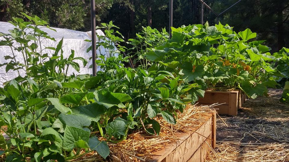 como fazer uma horta orgânica : como fazer uma horta em vasos