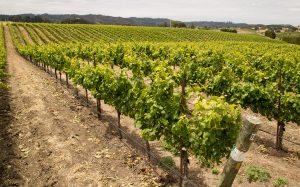 vinhos orgânicos : vinho biodinamico