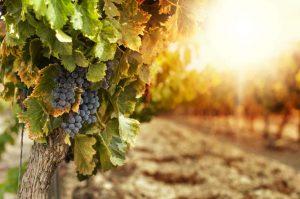 vinhos orgânicos : vinho organico brasileiro