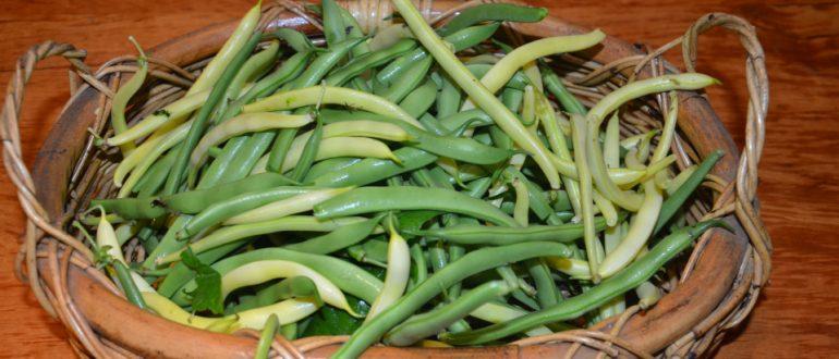 como plantar feijão orgânico : como plantar feijão verde