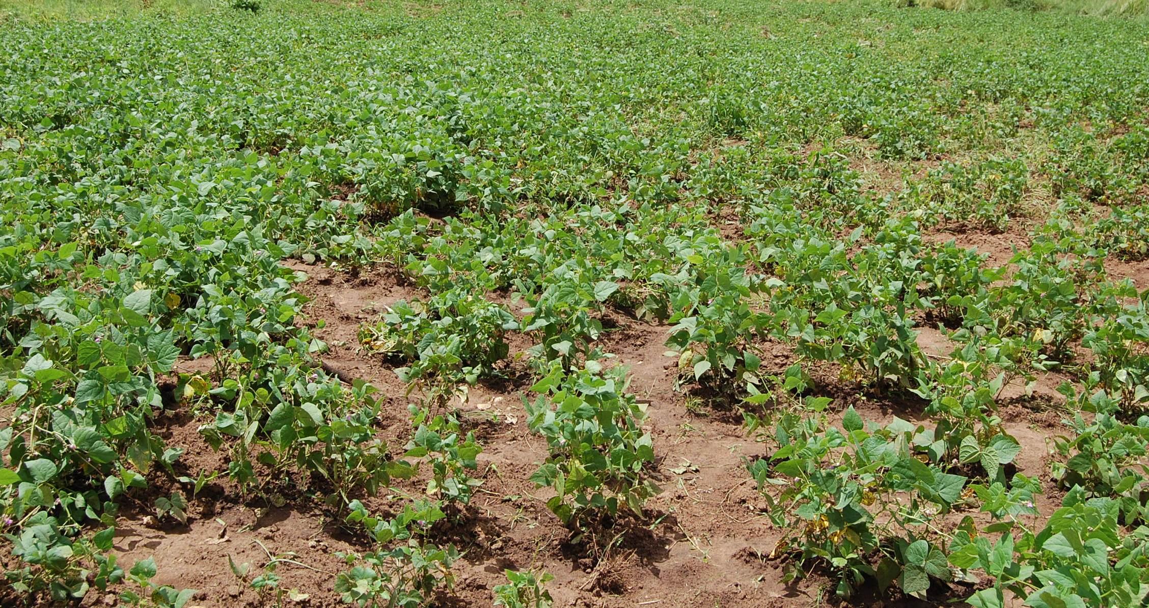 como plantar feijão orgânico : plantio de feijão orgânico