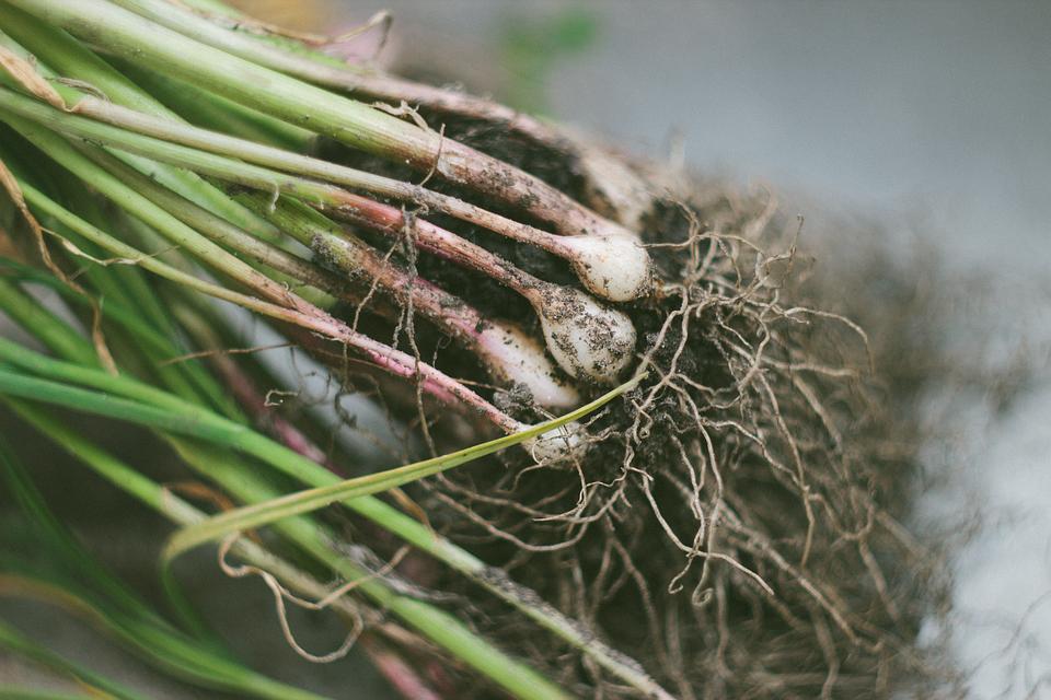 raízes comestíveis : caules comestiveis