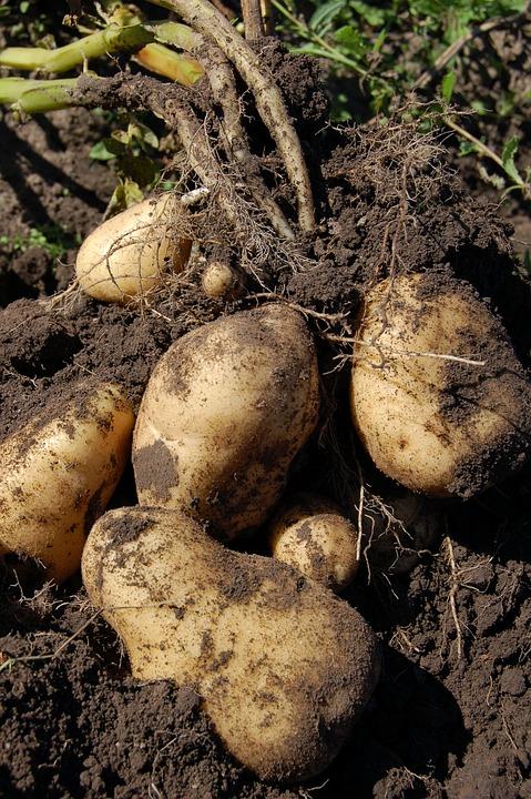 raízes comestíveis : trufas negras