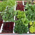 Horta em 1 Metro Quadrado: Solução Prática Para Produzir Alimentos Para Até 30 dias!