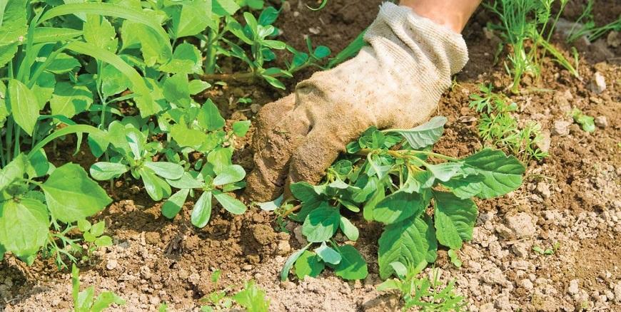 plantas invasoras : controle de ervas daninhas