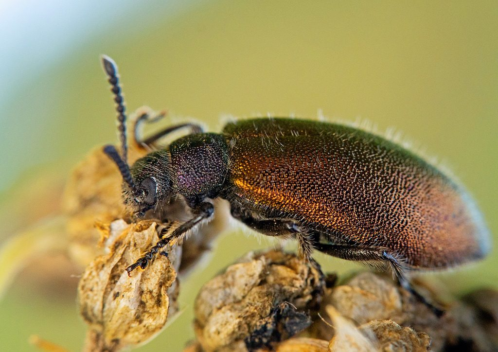 como controlar besouros : horta orgânica