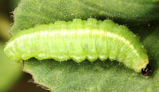 como controlar besouros : plantação orgânica