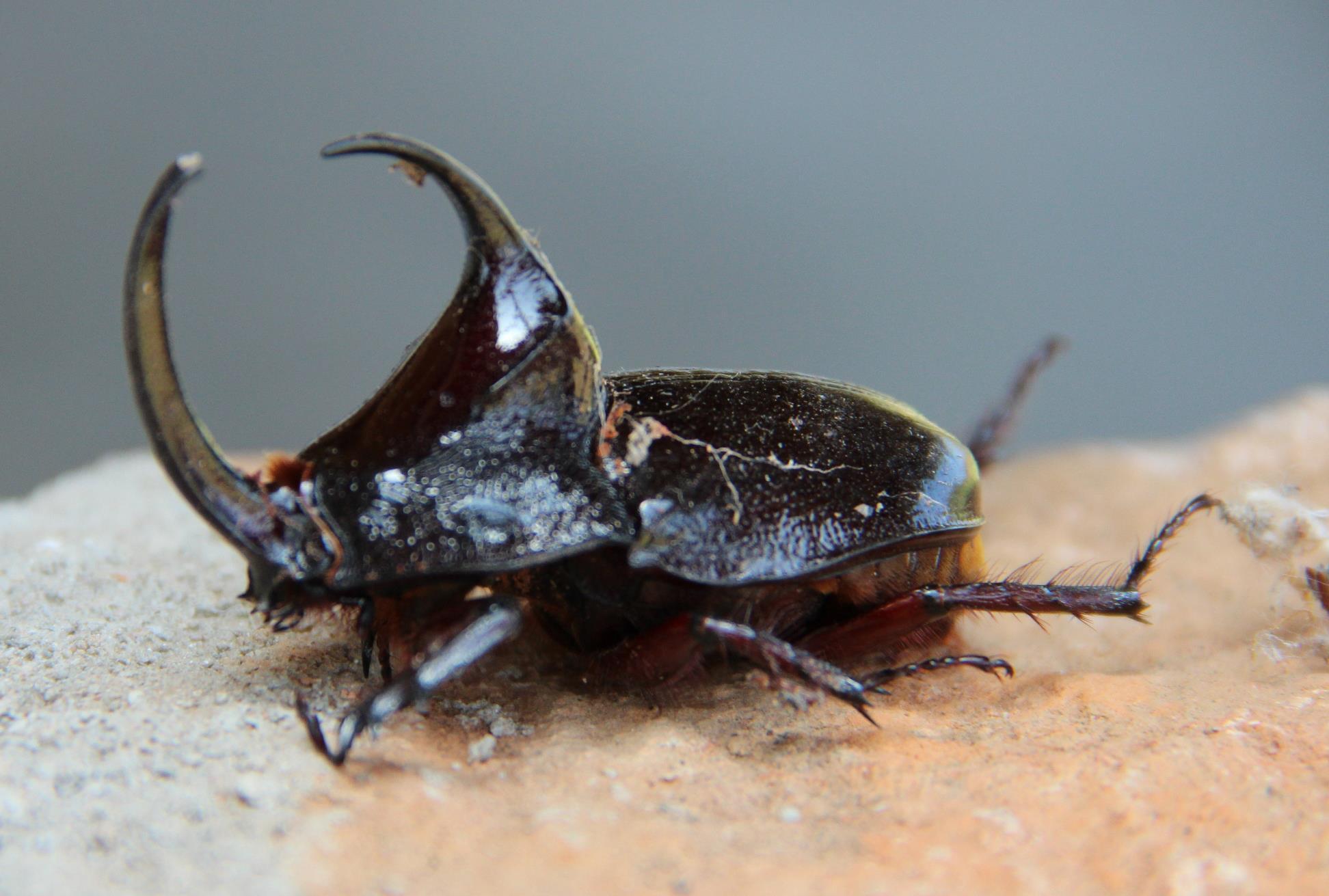 como controlar besouros : pragas