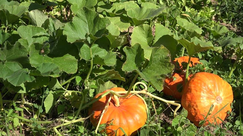 como plantar abóbora : plantação de abóbora gigante