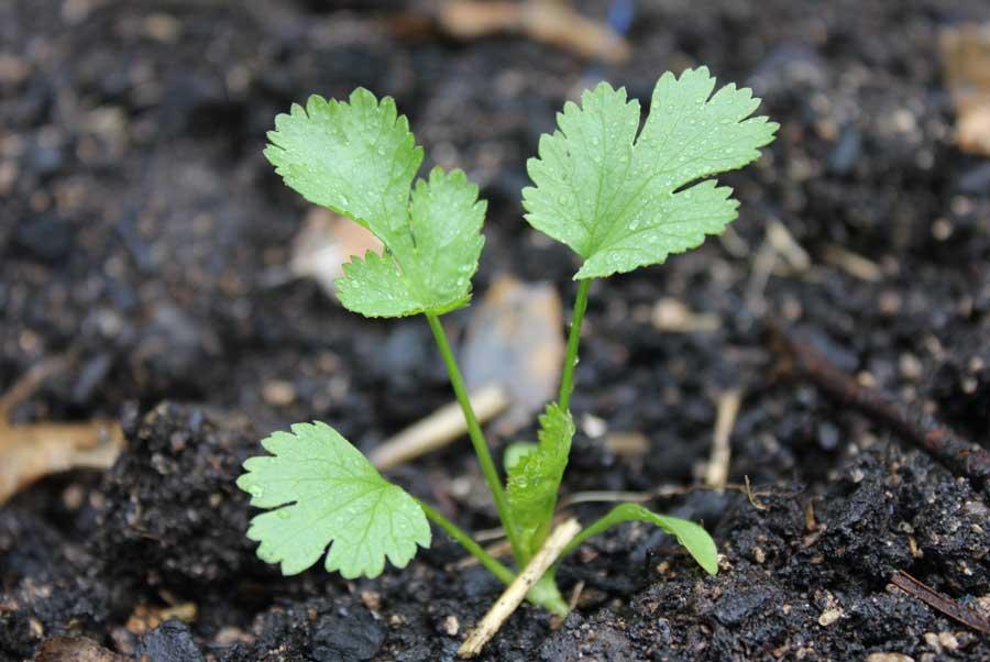como plantar coentro na horta orgânica