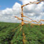 Aprenda Sobre Controle de Nematoides e Como Proteger sua Horta Orgânica