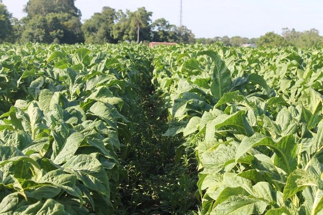 tabaco orgânico