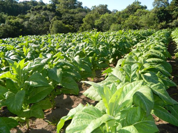 tabaco orgânico:fumo orgânico