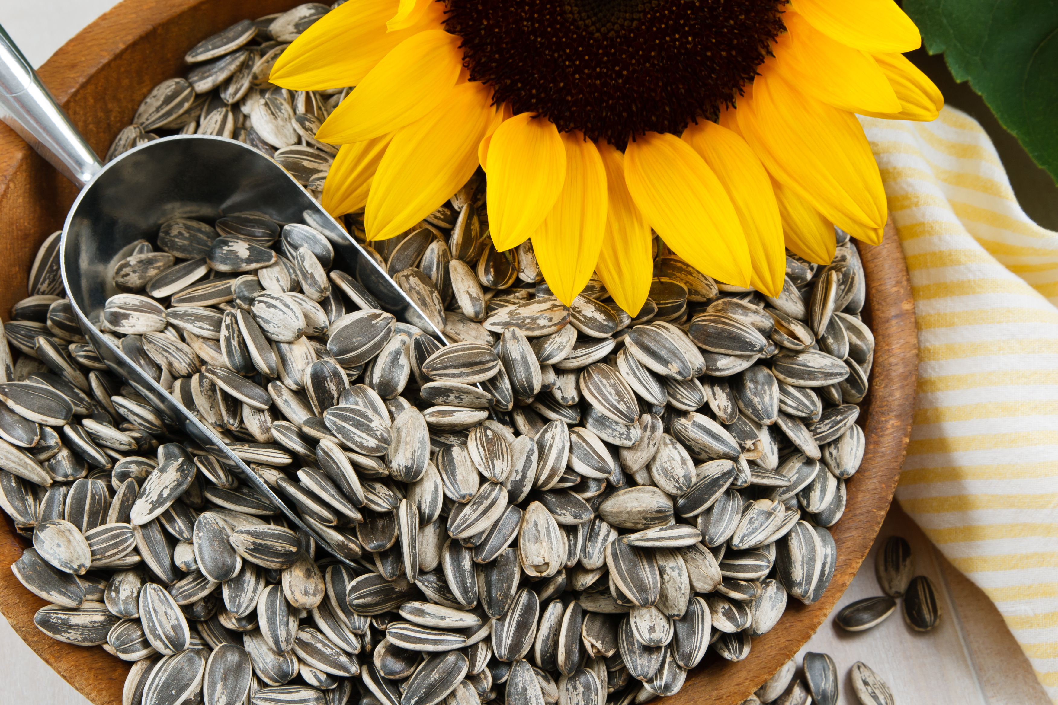 como plantar girassol orgânico: plantar semente de girassol