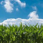 Tudo que Você Precisa Saber para Plantar Milho Orgânico