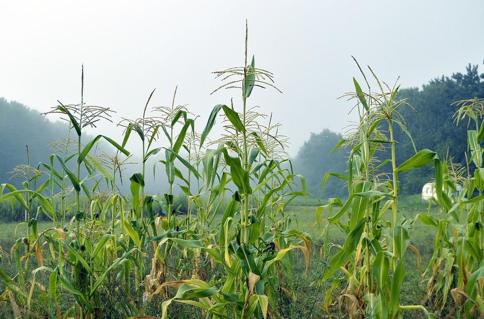 como plantar milho orgânico : horta orgânica