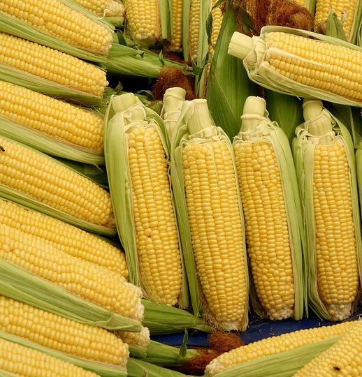 como plantar milho orgânico : milho orgânico