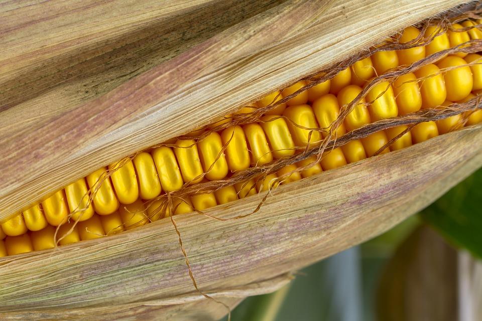 como plantar milho orgânico : plantio de milho