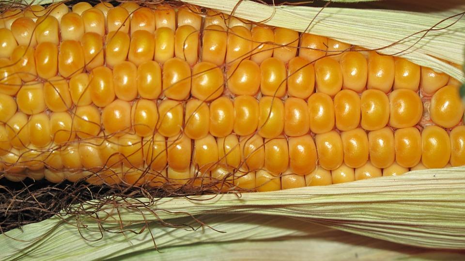 como plantar milho orgânico : semente de milho