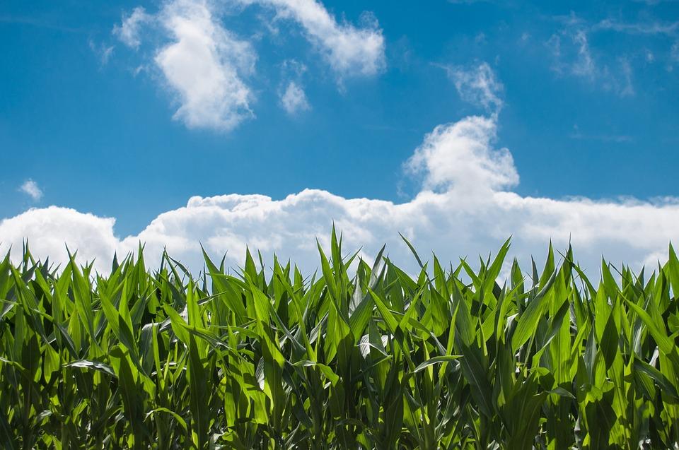 como plantar milho orgânico