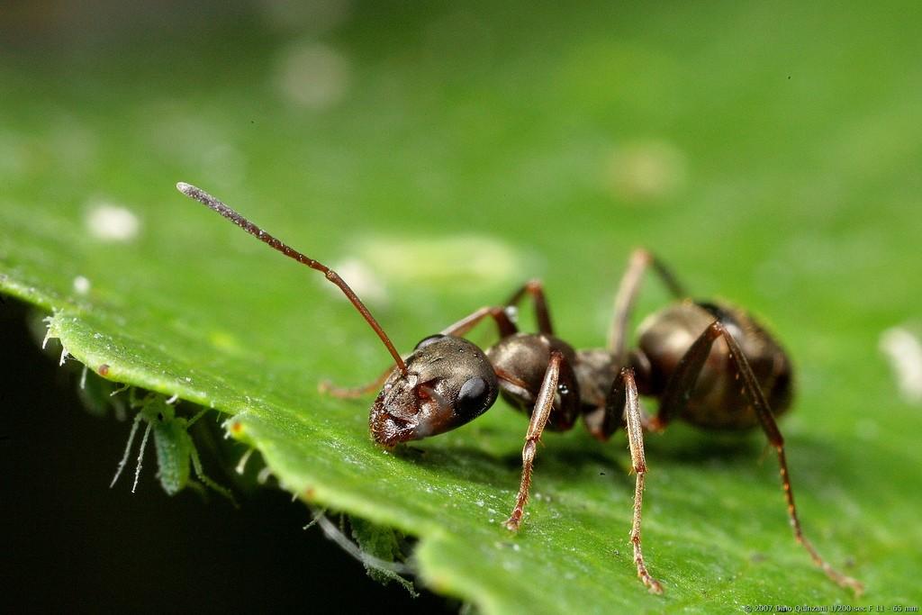 inseticidas naturais:inseticida para formiga