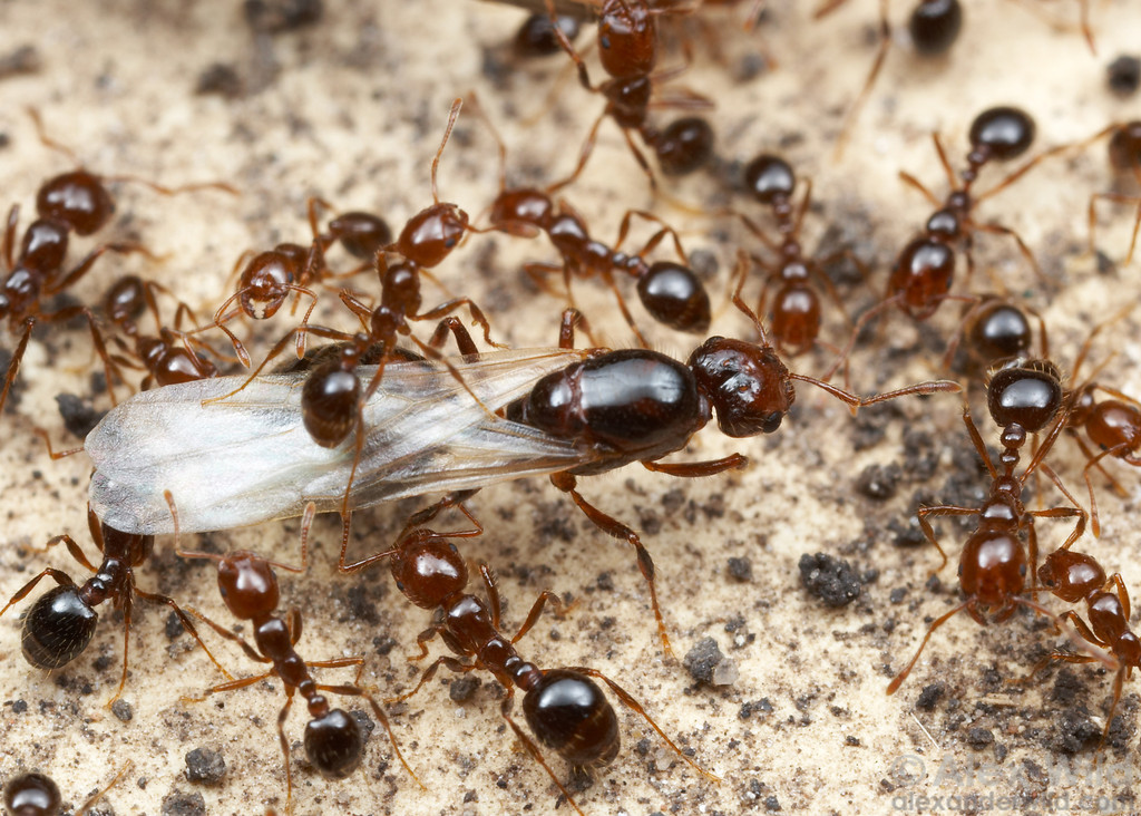 tipos de formiga : as formigas