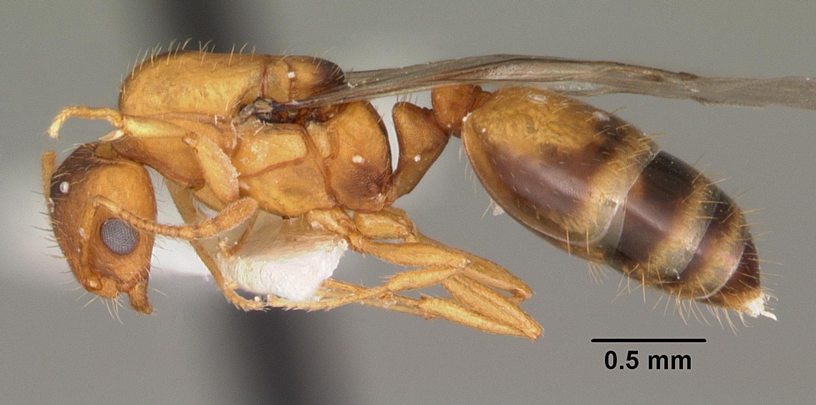 tipos de formiga : espécie de formiga