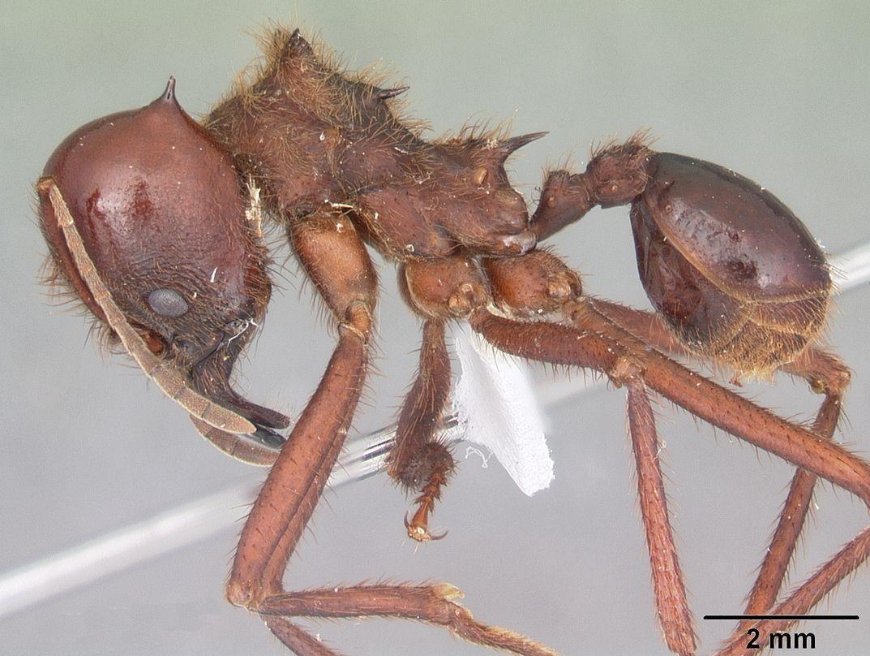 tipos de formiga : formiga