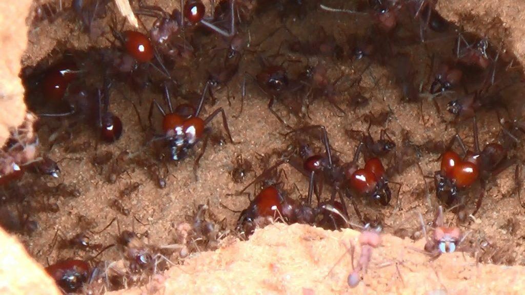 tipos de formiga : picada de formiga